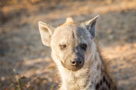 hyena: Spotted hyena female starring at the camera in the Kruger National Park, South Africa.