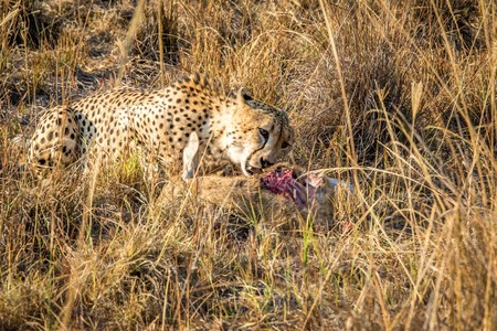 sabi: Cheetah eating from a Reedbuck carcass in the grass in the Sabi Sabi game reserve, South Africa.