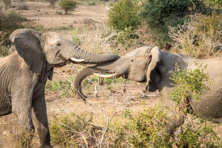 Two bonding Elephants in the Kruger National Park, South Africa.
