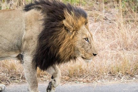big 5: Side profile of a male Lion in the Kruger National Park, South Africa.