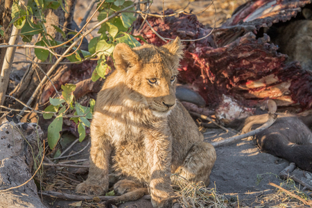 kill: Lion cub at a Buffalo kill in the Sabi Sabi game reserve, South Africa.