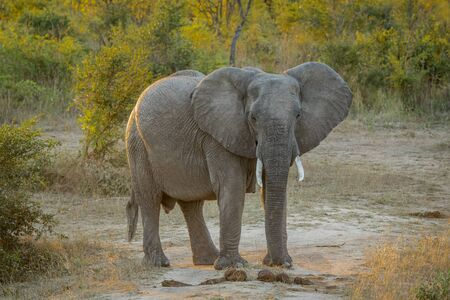 Starring Elephant in the Kruger National Park, South Africa.