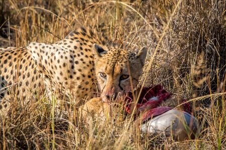 carcass: Cheetah eating from a Reedbuck carcass in the grass in the Sabi Sabi game reserve, South Africa.
