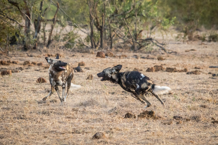 lycaon pictus: Two African wild dogs playing in the Kruger National Park, South Africa.