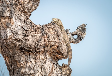 secretive: Rock monitor in a tree in the Kruger National Park, South Africa.