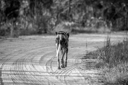 Running African wild dog from behind in black and white in the Kruger National Park, South Africa.