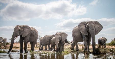 クルーガー国立公園、南アフリカで象を飲みます。