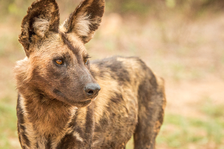 african wild dog: Starring African wild dog in the Kruger National Park, South Africa. Stock Photo
