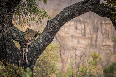 game drive: Leopard feeding on a zebra in a tree in the Kruger National Park, South Africa.