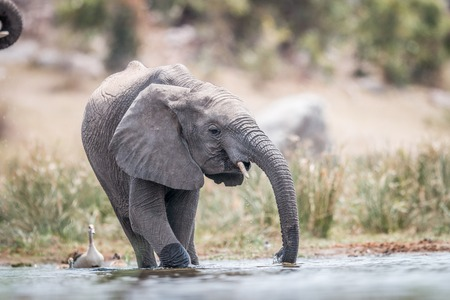 kruger: Elephant drinking in the Kruger National Park, South Africa. Stock Photo