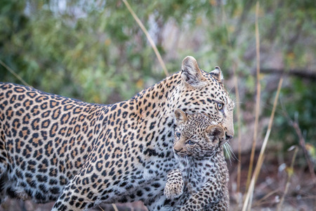 Leopard carrying a cub in the Kruger National Park, South Africa.