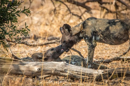 Two African wild dogs bonding in the Kruger National Park, South Africa.