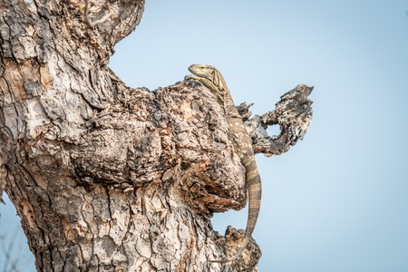 Rock monitor in a tree in the Kruger National Park, South Africa.