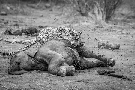 Leopard eating from a dead Elephant in black and white in the Kruger National Park, South Africa. Stock Photo
