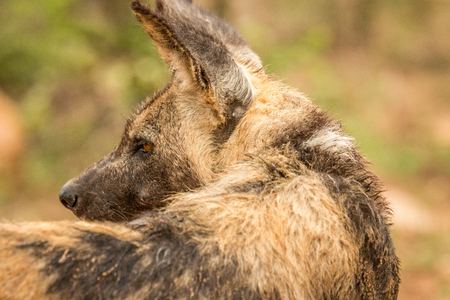 african wild dog: Starring African wild dog from behind in the Kruger National Park, South Africa. Stock Photo