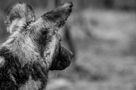african wild dog: Starring African wild dog from behind in black and white in the Kruger National Park, South Africa. Stock Photo