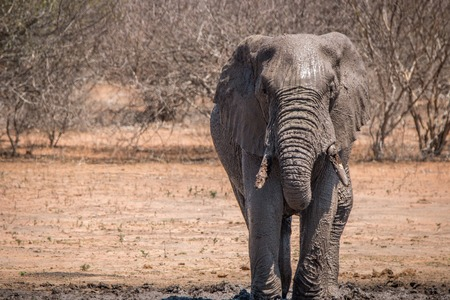 Elephant taking a mud bath in the Kruger National Park, South Africa.