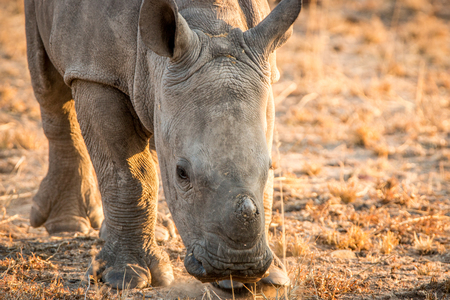 poaching: Grazing baby White rhino in the Kruger National Park, South Africa.