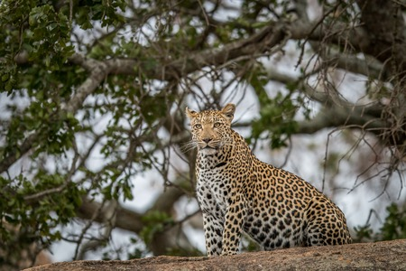 Leopard on the rocks in the Kruger National Park, South Africa. Stock Photo