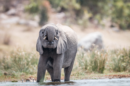Elephant drinking in the Kruger National Park, South Africa. Stock Photo