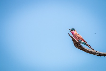 carmine: Southern carmine bee-eater sitting on a branch in the Kruger National Park, South Africa.