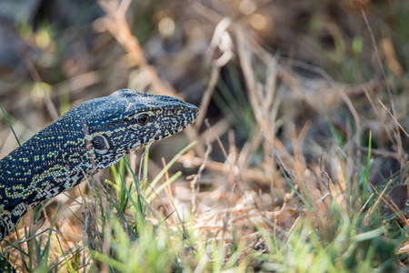 Side profile of a Water monitor in the Kruger National Park, South Africa.. Stock Photo