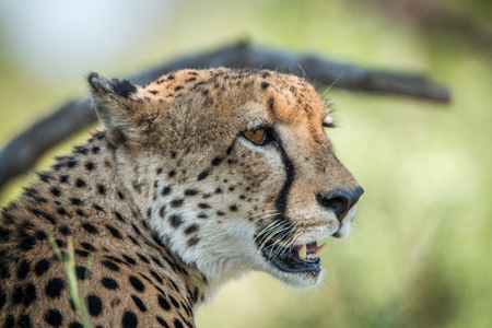 Close up of the face of a Cheetah in the Kruger National Park, South Africa.