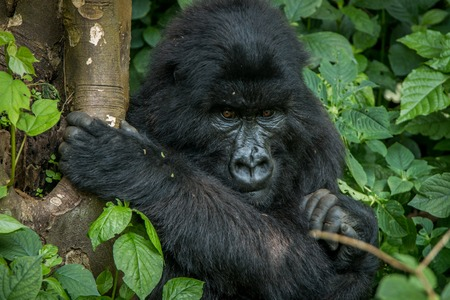 Mountain gorilla sitting in the leaves in the Virunga National Park, Democratic Republic Of Congo. Stock Photo