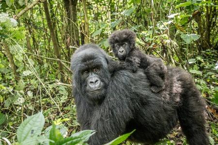 Gorila de montanha do bebê que senta-se em sua mãe no parque nacional de Virunga, República Democrática do Congo.