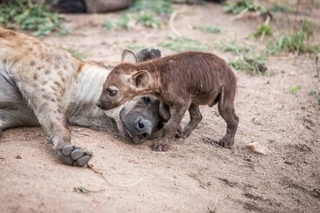 Baby Spotted hyena with his mother in the Kruger National Park, South Africa.