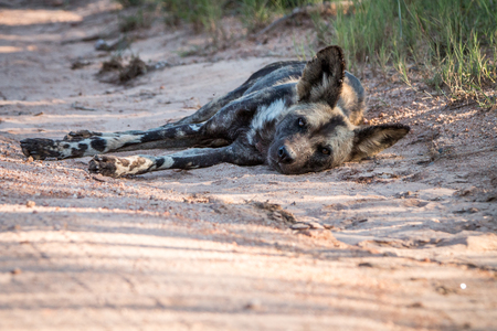 wild dog: African wild dog laying in the sand in the Kruger National Park, South Africa.