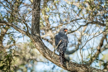 Dark chanting goshawk sitting on a branch in the Kruger National Park, South Africa.