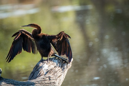 territory: Preening African darter in the Kruger National Park, South Africa.