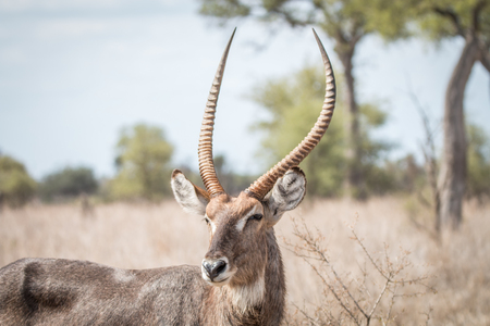 Big male waterbuck starring in the Kruger National Park, South Africa.