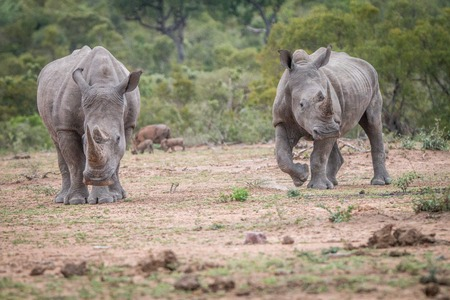 Two White rhinos standing in the dirt in the Kruger National Park, South Africa. Stock Photo