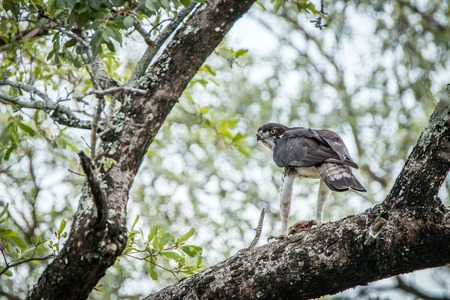 bird eating raptors: Martial eagle in a tree with his kill in the Kruger National Park, South Africa.