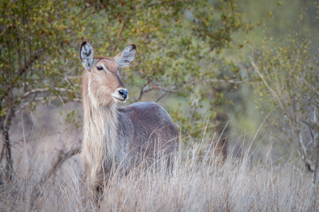 starring: Starring female Waterbuck in the Kruger National Park, South Africa.