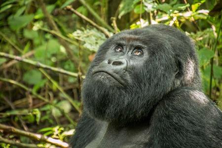 gorila de espalda plateada mirando hacia arriba de la montaña en el Parque Nacional de Virunga, República Democrática del Congo.