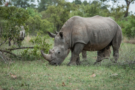 poaching: White rhino eating grass in the Kruger National Park, South Africa. Stock Photo