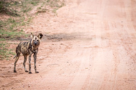 african wild dog: African wild dog standing in the road in the Kruger National Park, South Africa.