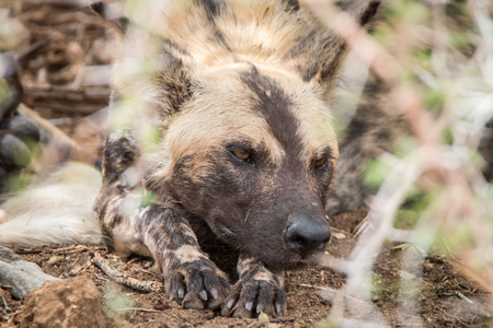 African wild dog sleeping in the dirt in the Kruger National Park, South Africa.