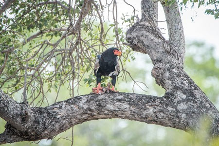 bird eating raptors: Bateleur eating in a tree in the Kruger National Park, South Africa. Stock Photo