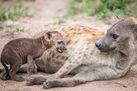 reserve: Baby Spotted hyena with his mother in the Kruger National Park, South Africa.