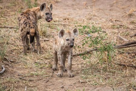 hienas: Dos hienas manchadas jóvenes en el Parque Nacional Kruger, Sudáfrica.