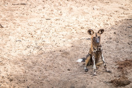 wild dog: African wild dog sitting in the sand in the Kruger National Park, South Africa.