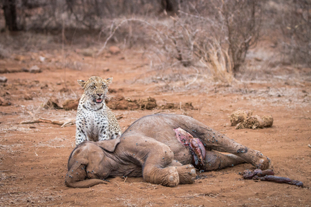 A Leopard at a baby Elephant carcass in the Kruger National Park, South Africa. Stock Photo