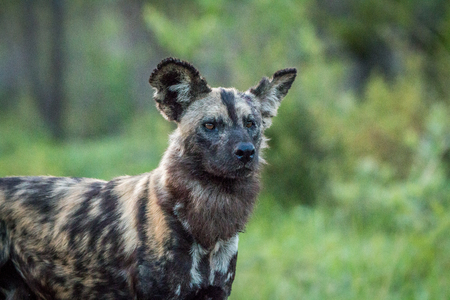 wild dog: Starring African wild dog in the Kruger National Park, South Africa. Stock Photo