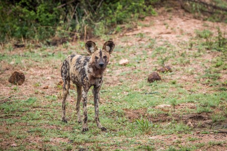 african wild dog: African wild dog standing in the grass in the Kruger National Park, South Africa.