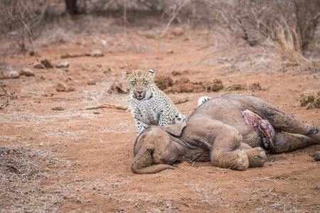 carcass: Een Leopard op een baby Elephant karkas in het Kruger National Park, Zuid-Afrika. Stockfoto