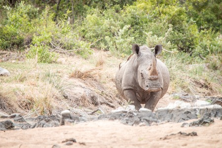 poaching: Starring White rhino in the sand in the Kruger National Park, South Africa. Stock Photo